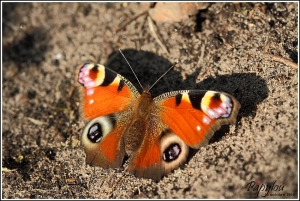 papillons,automne,jardin,vulcain