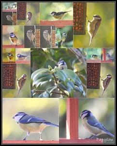 vidéo,jardin,mésange bleue